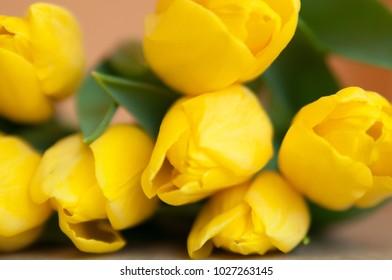 Yellow tulips close-up. Tulip background.