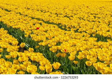 Yellow tulips with  a couple of red ones