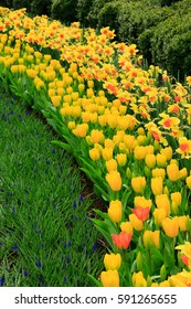 Yellow tulips in curve rows full bloom on springtime, The Netherlands.