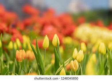 Yellow tulips to decorate the background.