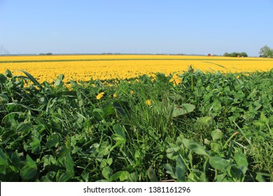 yellow tulips in the field