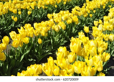 Yellow tulips in a field at a tulip festival in western Washington state U.S.