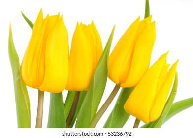 Yellow tulips in front of a white background