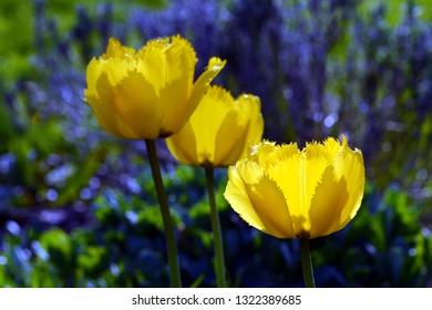 Yellow tulips in garden. Spring flowers.