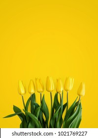 Yellow tulips on a yellow background