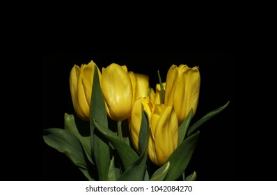 Yellow tulips on black background