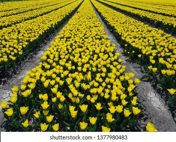yellow tulips on the field
