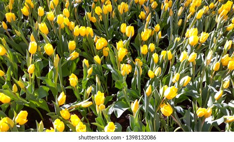 Yellow tulips on a field.