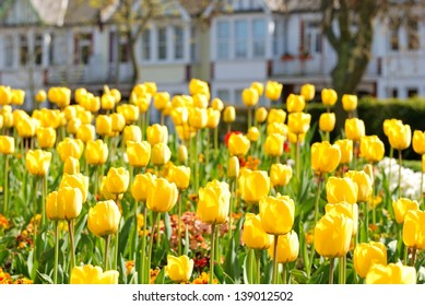 Yellow tulips on a flowerbed in a park