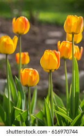 Yellow tulips on a flowerbed. Spring concept