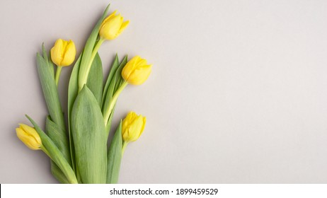 yellow tulips on a gray background, banner, top view, spring bouquet