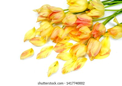 Yellow tulips on a white background. Yellow flowers.