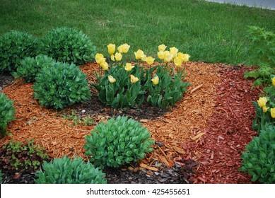 Yellow tulips, Sedum telephium 'Herbstfreude', Heuchera on the flowerbed, sprinkler with orange dyed mulch. Ornamental plants for landscaping.
