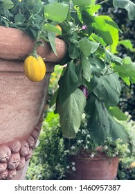 Yellow vegetables growing in a pot.