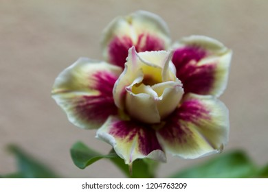 Yellow violet flower adenium obesum Egg Roll blooms. Close up.
