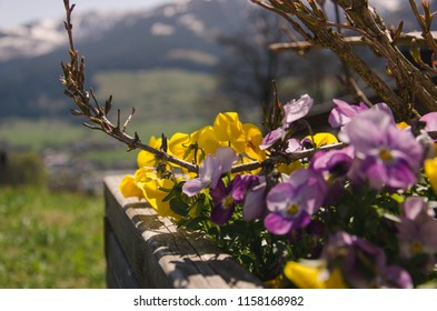 Yellow and violet flowers in flowerbed on mountains background, beautiful nature