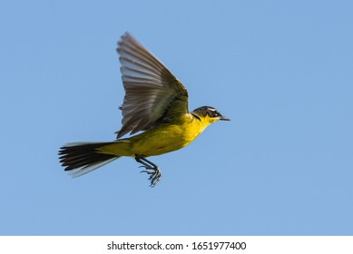Yellow wagtail flying against blue sky