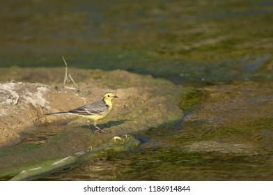 Yellow wagtail (Motacilla flava). Hiran river. Sasan Gir. Gujarat. India.