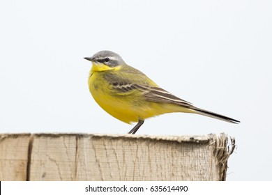 Yellow Wagtail (Motacilla flava) on a wooden pole - Eemnes, the Netherlands
