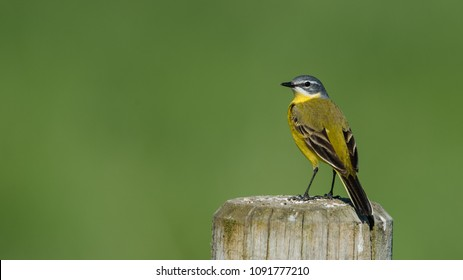 Yellow Wagtail (Motacilla flava) perching on the roundpole with a nice green bokeh.