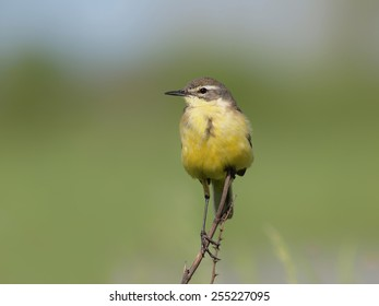 Yellow Wagtail (Motacilla flava) perching on a twig