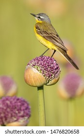 Yellow wagtail on Alliums or onion flowers