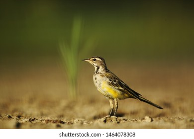 Yellow wagtail on dry bottom of lake