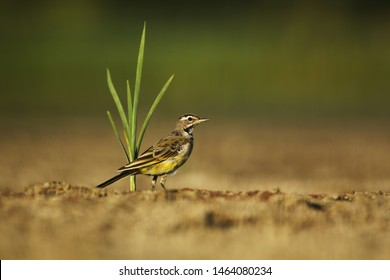 Yellow wagtail on dry mud of lake