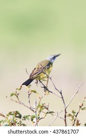 Yellow Wagtail perched