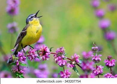 yellow Wagtail singing on a meadow