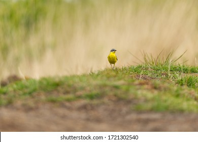 Yellow wagtail songbird on the fresh spring grass in front of bokeh background low angle shot