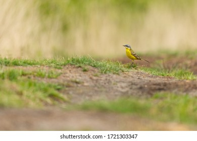 Yellow wagtail songbird standing on the grass low angle shot with bokeh background