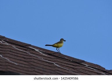 yellow wagtail standing on the roof with an insect caught in its beak