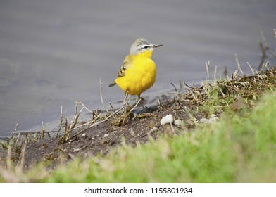 Yellow wagtail. The western yellow wagtail, Motacilla flava, is a small passerine in the wagtail family Motacillidae