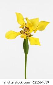 Yellow Walking Iris on a white background