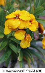 Yellow wallflower (Erysimum cheiri) flowers with a blurred background of leaves and flowers.