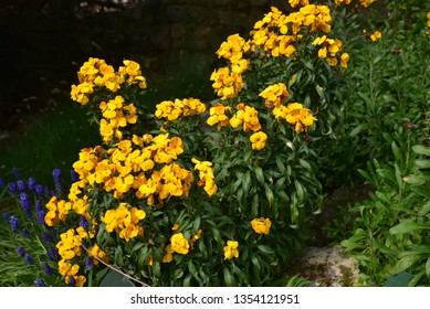 Yellow wallflower in spring