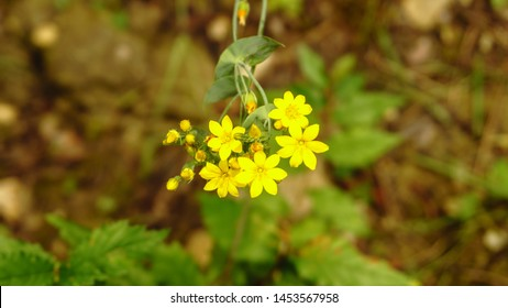 Yellow wallflower top view.  Also known as Erysimum, it is a genus of flowering plants in Brassicaceae.