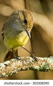 Yellow warbler bird in the Galapagos Islands, Ecuador