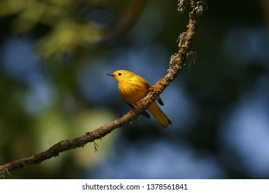 Yellow Warbler caught in a ray of sunlight