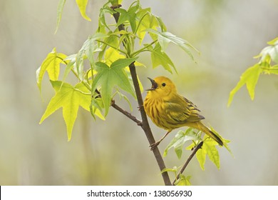Yellow Warbler (Dendroica petechia aestiva), male in breeding plumage, singing from perch.