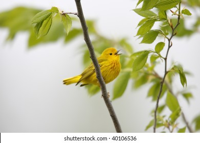 Yellow Warbler (Dendroica petechia aestiva), male in breeding plumage singing.