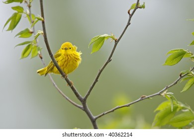 Yellow Warbler (Dendroica petechia aestiva), male in breeding plumage.