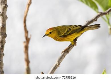Yellow Warbler (Dendroica petechia aureola), Mangrove subspecies, male foraging on Santa Cruz Island, Galapagos.