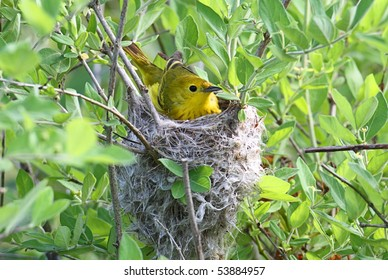 Yellow Warbler (Dendroica petechia) in a nest in spring