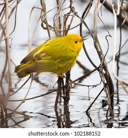A Yellow Warbler feeding on insects in a marshy area.