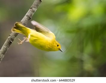 Yellow Warbler Flying Blur
