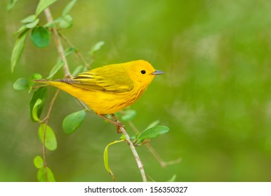 Yellow Warbler, with Green background