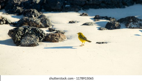 Yellow Warbler isolated on beach in the Galapagos Islands (Ecuador)