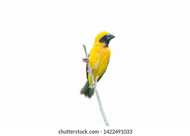 Yellow warbler on a beautiful white background
